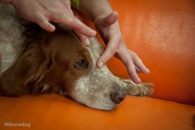 Acupressure for animals